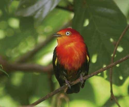 Aves do Brasil: A Lenda do Uirapuru